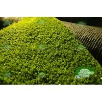 Green-standard-golf
